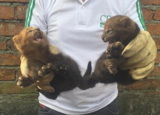 Funcionarios de la CRQ rescata dos felinos yaguarundí, los ejemplares están a salvo