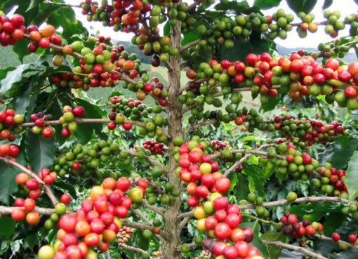 Producción de café de Colombia crece 6% en el mes de mayo