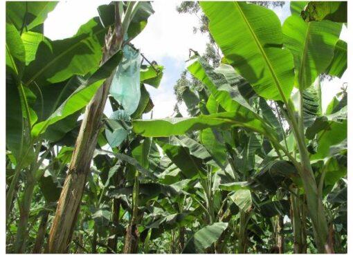 De Belén de Umbría, salen 25 mil kilos de plátano rumbo a la Unión Europea