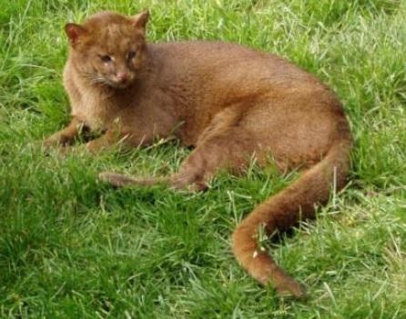 Policía Ambiental recuperó Puma Yaguarundí en Calarcá