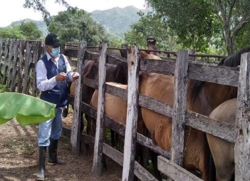 ICA adelanta jornada de vacunación equina gratuita contra encefalitis venezolana en el Quindío
